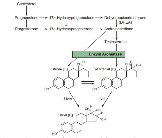Sự phân giải các hormone chính ở nữ