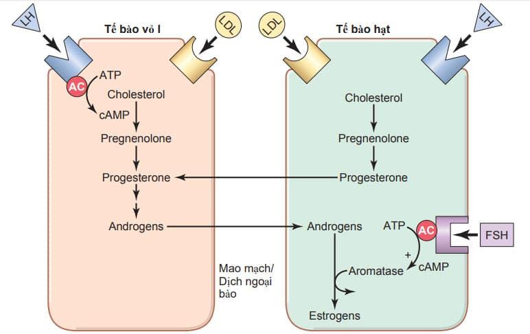 Sự tương tác của các tế bào vỏ nang và các tế bào hạt để bài tiết estrogen